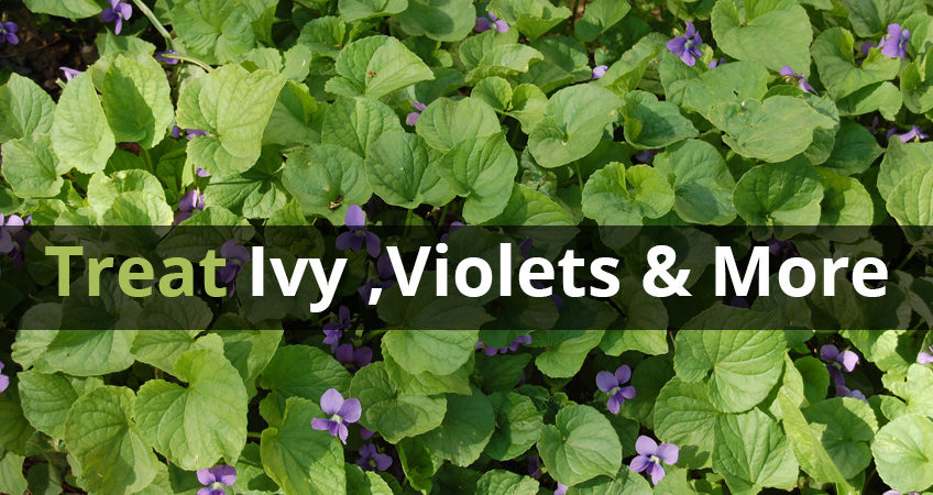 Ground Ivy Wild Strawberry Wild Violet