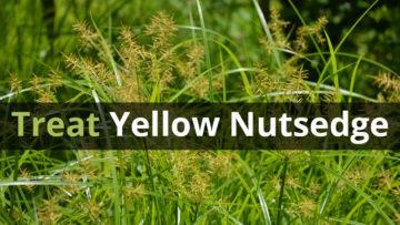 Treatment of Yellow Nutsedge