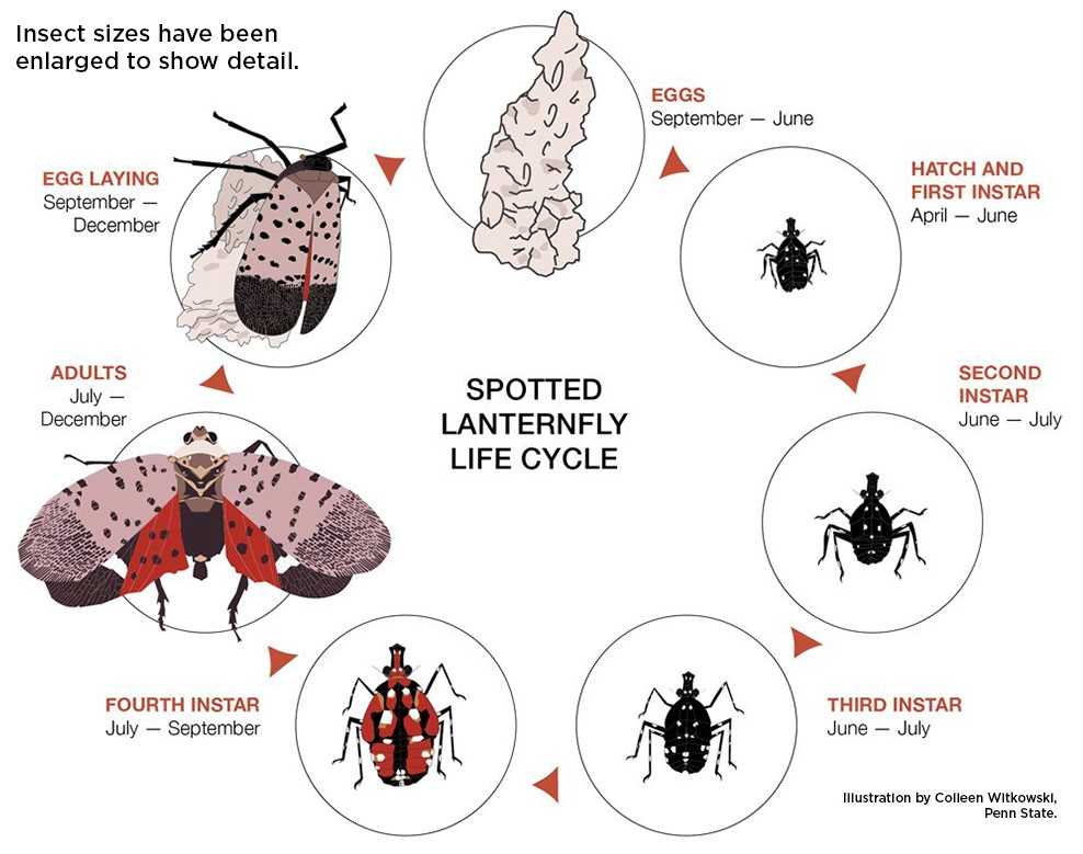 The Lifecycle of a Spotted Lanterfly